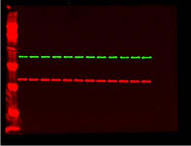 红色:GAPDH-Dylight 680;  绿色:AKT Dylight 800